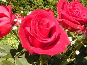 Rose_Flower.jpg