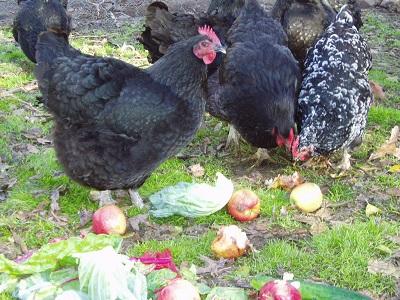 Raising-Backyard-Chickens-San-Diego-023026.jpg